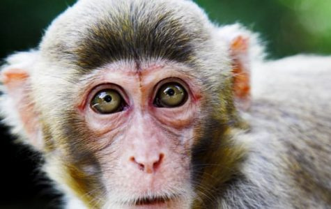 Monkeys can be possible cure for Paralysis?